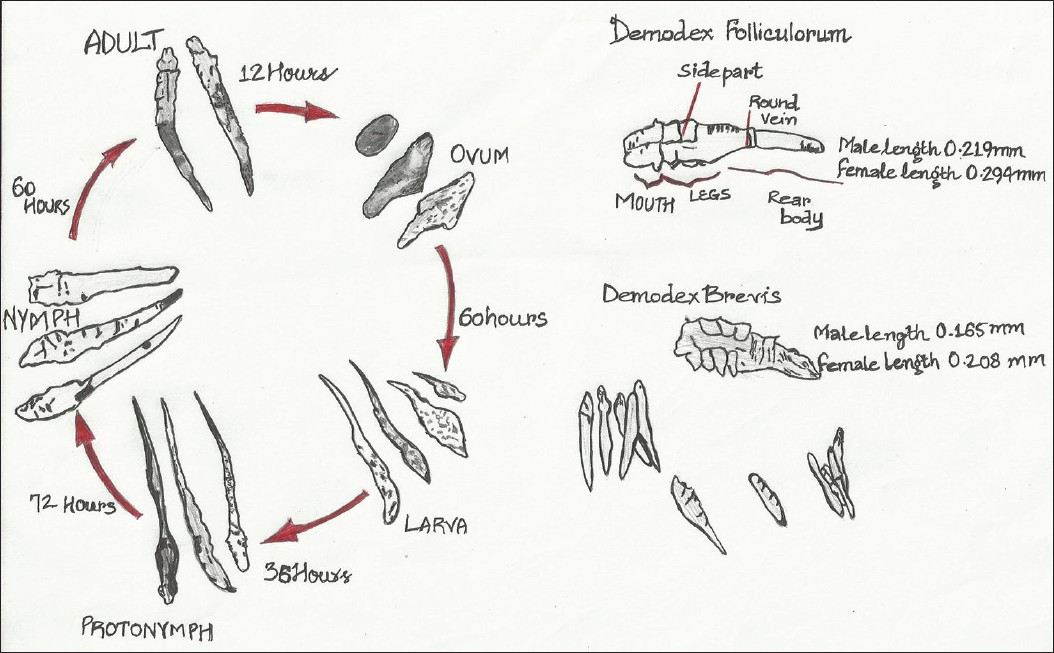 Figure 2: Morphology and life cycle of the <i>Demodex</i> mite